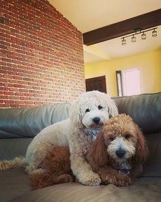 #milo #max #bothers #samelitter #hesmine #goldendoodlesofinstagram #goldendoodle #thedoggiechalet