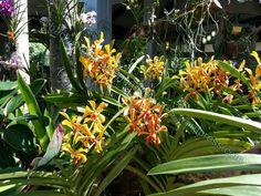 Vanda Prchids   vanda orchids