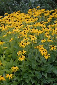 Black-eyed Susan (Rudbeckia fulgida 'Goldsturm'), courtesy of www.PerennialResource.com