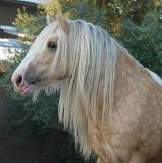 Fabio in horse form lol Big Horses, Types Of Horses, Pretty Horses, Black Horses, Most Beautiful Animals, Beautiful Horses, Palomino, Horse Mane, Andalusian Horse