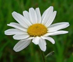 Mijn favoriete bloem...Wilde Margriet (Leucanthemum vulgare)