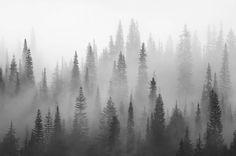 Svartvit skog Gran Dimma fototapet/tapet från Happywall