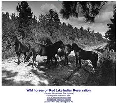 Wild horses in Red Lake, MN - Ojibwe Nation