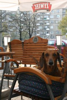 A dog (patiently) seated at a street cafe in Warsaw, Poland :)