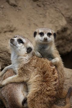Two beautiful Meerkats resting.