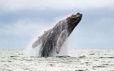 Une baleine à bosse saute à la surface dans la réserve naturelle d'Uramba Bahia Malaga, en Colombie.  Earth day - LUIS ROBAYO/AFP/Getty Images