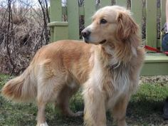 Buddy is an adoptable Golden Retriever Dog in Amherst, NS. Golden Retriever Mix, Retriever Dog, Adoption, Puppies, Animals, Foster Care Adoption, Cubs, Animales, Animaux