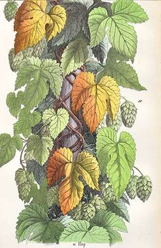Vintage illustrations of hops, Lessons From The Vegetable World by Charlotte Mary Yonge