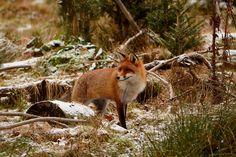 Sehr aufmerksam beobachtet der Winterfuchs seine Umgebung