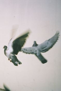 pigeons fly together