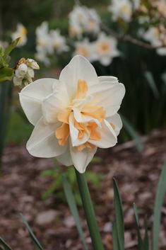 49 best daffodils images on pinterest in 2018 daffodils white double daffodil delnashaugh has pure white petals layered with apricot pink ruffles mightylinksfo