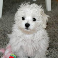 Cookie the Maltese puppy - so sweet!