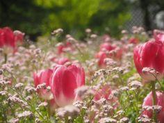 『ちょっと覗いたり(笑)』ゆかりんさんが投稿した花自慢,今日の一枚,今日のお花,『チューリップ』コンテスト,咲いた!の画像です。 (2017月5月4日)
