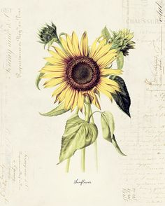 Vintage Botanical Flower Sunflower on French by OrangeTail on Etsy, $14.00