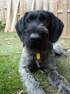 German Wirehaired Pointer. I have one of these! Except it's got brown hair. Sweetest dog ever