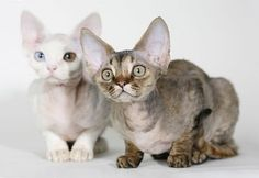 devon rex beauties