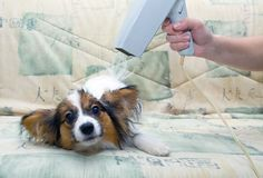 A Complete Step By Step Papillon Dog Grooming Guide