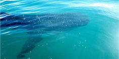 Guide to swimming with whale sharks and sea lions in La Paz, Mexico