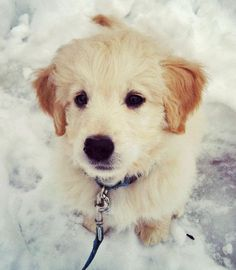 Dylan the Goldendoodle
