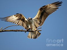 This young Osprey was not going to let go of his lunch anytime soon.