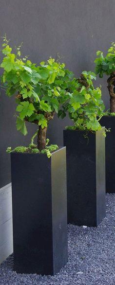 Grape vines in modern planters. Just perfect for a modern garden. Plantas Indoor, Contemporary Planters, Modern Planters, Plantation, Garden Planters, Tall Planters, Black Planters, Square Planters, Dream Garden