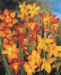 Crocosmia -Shade flower for in front of the house under the tree.