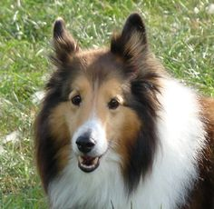 Lucy available for adoption from houston sheltie sanctuary