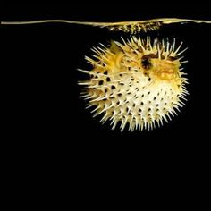Porcupine Puffer, photo by Mark Laita.