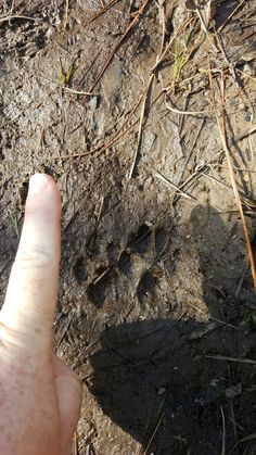 Cute little bobcat tracks