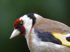 Top 10 garden birds in Britain: how many can you identify?