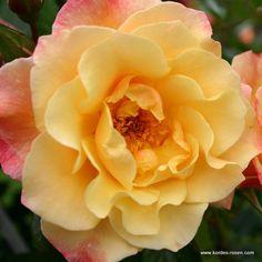 Kordes Moonlight Rose