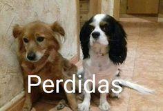 Animales Perdidos y encontrados. Murcia: DOS PERRITAS PERDIDAS EN LA ZONA DE MONTEPINAR_MUR...