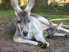 Red Kangaroo Rosie and her new bub are having a mid week rest, why don't you join them? This young roo can often be seen out of the pouch testing his hopping skills but still enjoys a fair bit of time in the pouch with mum, especially in this cold weather.