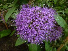 Purple flower - Cornwall 2012