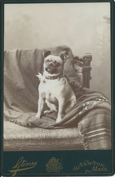 c.1880s cabinet card of a pug, with a bow attached to his studded collar, sitting on a woven blanket draped across an Aesthetic Movement chair. Photo by A. Glines, Newton, Mass. From bendale collection