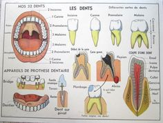 French Vintage School Poster Anatomy Dental Teeth Mouth Lungs Medical