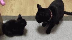 Share this Domestic cat violence Animated GIF with everyone. Gif4Share is best source of Funny GIFs, Cats GIFs, Reactions GIFs to Share on social networks and chat.