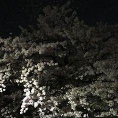夜桜がすごく綺麗