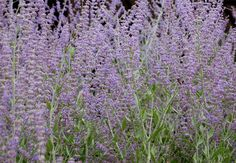 Russian Sage Care: Tips For Growing Russian Sage Plant - Admired for its silvery gray, fragrant foliage as much as its lavender-purple flowers, Russian sage makes a bold statement in the garden. Learn how to grow and care for Russian sage in this article.