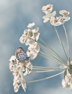 Beautiful photography of a butterfly feeding on some white flowers, cute spring time snap Papillon Butterfly, Butterfly Kisses, Blue Butterfly, Butterfly Flowers, Beautiful Butterflies, Beautiful Flowers, Beautiful Pictures, White Flowers, Image Tumblr