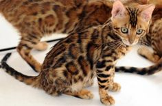 The Bengal cat is one of the more recent additions to the group of cat breeds. Yes they are a domestic cat, not a wild cat. They are noted for their coat patterns to closely resemble an Ocelot or Jaguar.