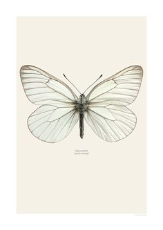 Hagtornsfjaril Aporia crataegi A Foto Poster, A4 Poster, Botanical Illustration, Illustration Art, Butterfly Drawing, White Butterfly Tattoo, Beautiful Butterflies, Botanical Prints, Body Art Tattoos
