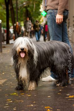 wet, shaggy, french, dog
