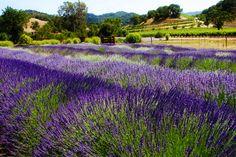 Lavender fields @ Robert Sinskey Winery on Silverado Trail in Napa | TrySomethingFun.com