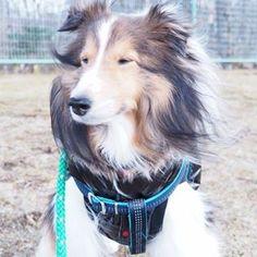お目目、細〜い。  #animal #cute #dog #east_dog_japan #inutokyo #instadogclub #Lovely #pretty #ShetlandSheepdog #Sheltie #todayswanko #ふわもこ部 #犬好き #愛犬 #シェルティー