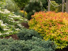 Double Play Gold Spirea warms up the May garden alongside a Blue Star juniper, flowering viburnum and a Thunderhead pine. Blue Point Juniper, Blue Star Juniper, Flowering Shrubs, Deciduous Trees, Trees And Shrubs, May Garden, Garden Theme, Garden Art, Garden Plants
