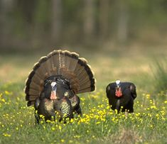 Bow hunting wild turkey can be a difficult thing. But with proper training and patience it can become a rewarding outdoor lifestyle hobbies hunting experience Hunting Calls, Hunting Tips, Archery Hunting, Hunting Season, Deer Hunting, Hunting Stuff, Coyote Hunting, Pheasant Hunting, Quail Hunting