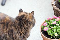 Oravanpesä | Eksoottinen lyhytkarva kissa ja Kaunokainen Bellis perennis