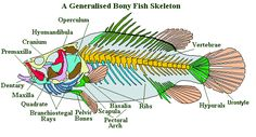 The Earth Life Web, The Fish's Skeleton
