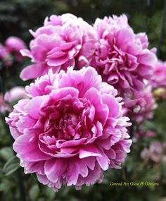 "Herbaceous Peony - ""Tinka Philips"" - can grow to 5 ft. Rare."